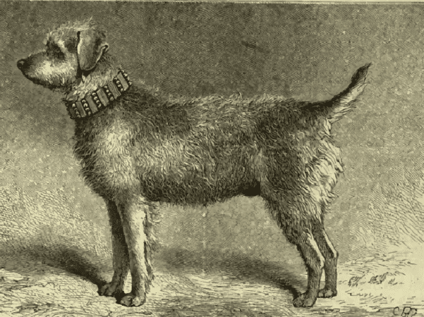 Illustration: Thunder, a Bingley Terrier and one of the founders of the Airedale Terrier, 1881. Credit: Wikimedia Commons.
