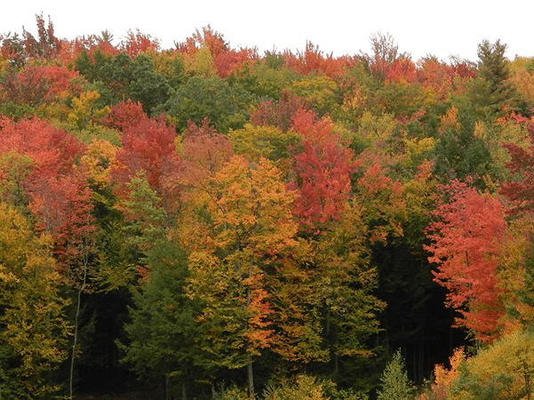 Photo: typical fall foliage in red maple country, the Adirondacks of New York. Credit: DigbyDalton; Wikimedia Commons.