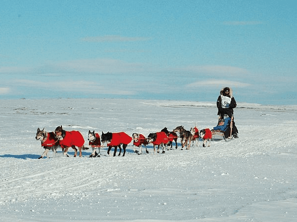 Photo: Norwegian Robert Sørlie (Sorlie) in the 2007 Iditarod sled dog race. Credit: ra64; Wikimedia Commons.