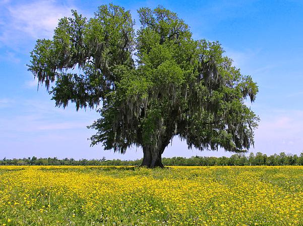 Photo: Oak tree in a field of yellow wildflowers near Violet, Louisiana. Credit: Edd Prince; Wikimedia Commons.