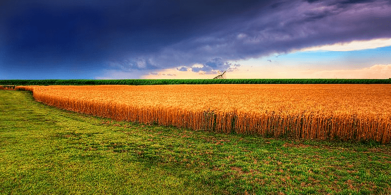 Photo: Kansas summer wheat field and an approaching storm