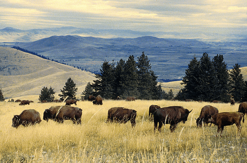 Photo: bison herd grazing at the National Bison Range, Montana