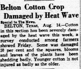An article about the heat wave devastating the cotton crop, Dallas Morning News newspaper article 15 August 1936