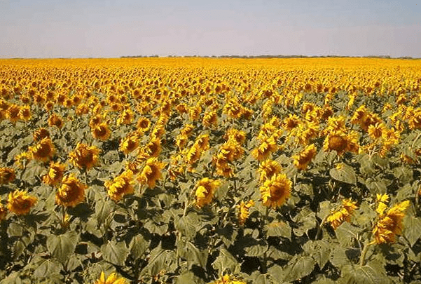 Photo: sunflowers, Traill County, North Dakota. Credit: Hephaestos; Wikimedia Commons.