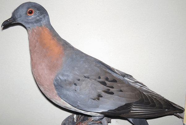 Photo: stuffed male passenger pigeon, Field Museum of Natural History, Chicago, Illinois. Credit: James St. John; Wikimedia Commons.