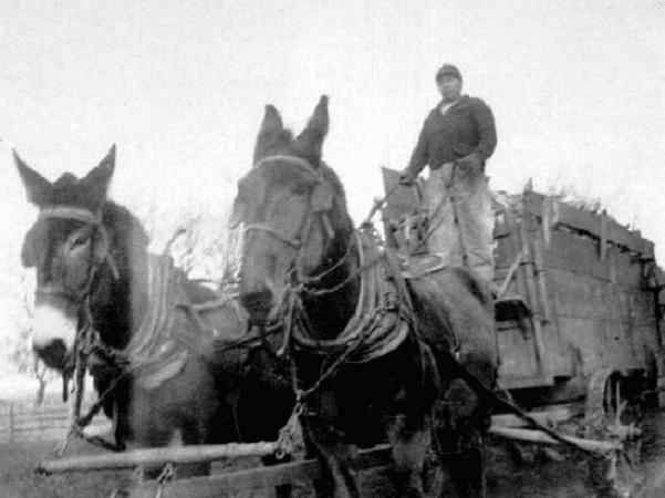 Photo: Iowa farmer driving mule-drawn wagon. Credit: JGKlein; Wikimedia Commons.