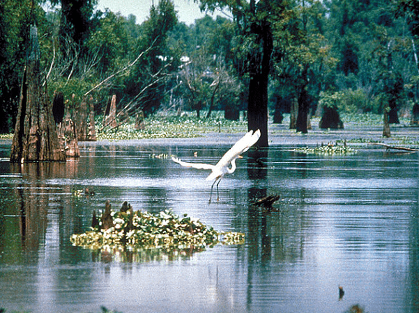 Photo: Sherburne Complex Wildlife Management Area, Atchafalaya Basin, Louisiana. Credit: U.S. Army Corps of Engineers; Wikimedia Commons.