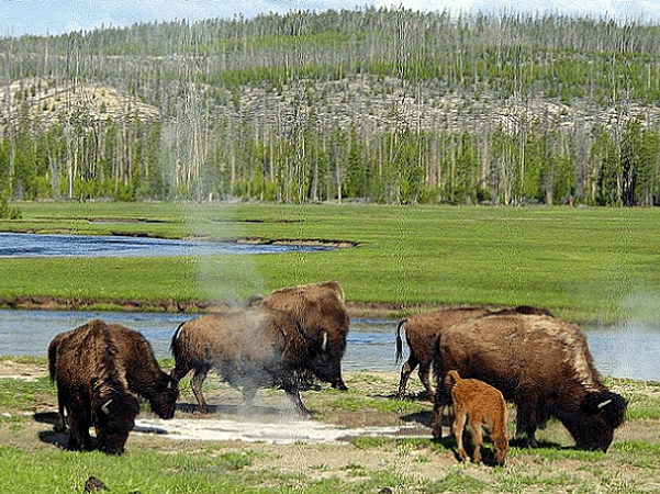 Photo: bison grazing near a hot spring, Yellowstone National Park, Wyoming. Credit: Daniel Mayer; Wikimedia Commons.