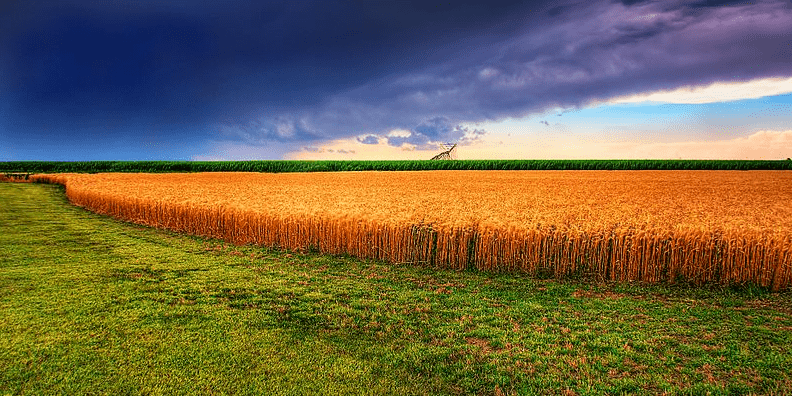 Photo: Kansas summer wheat field with approaching storm