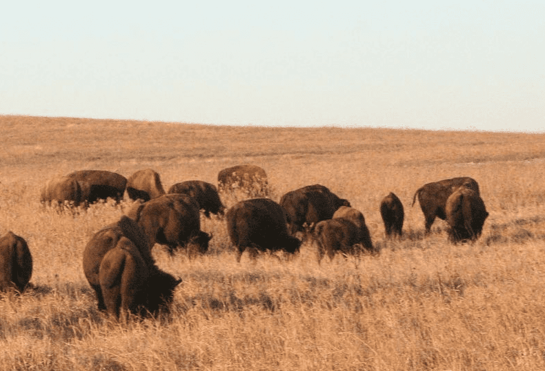 Photo: bison at the Tallgrass Prairie Nature Preserve in Osage County, Oklahoma