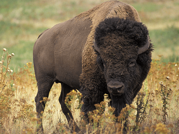 Photo: American bison, Oklahoma's state mammal. Credit: United States Department of Agriculture; Wikimedia Commons.