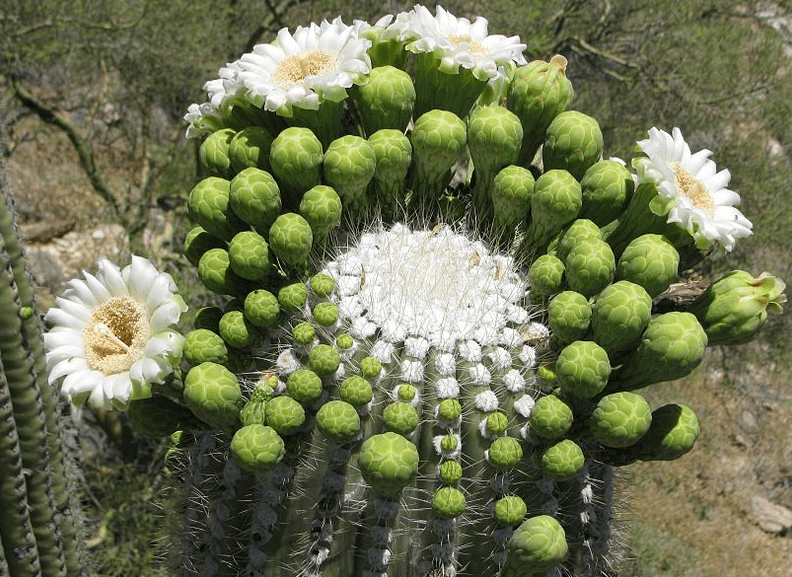 Photo: flowers and buds on a saguaro cactus, Arizona's state flower