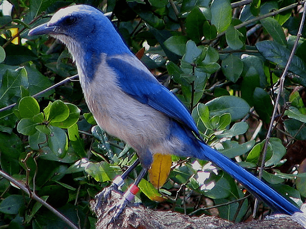 Photo: Florida Scrub Jay, Blue Springs State Park, Orange City, Florida. Credit: Mwanner; Wikimedia Commons.