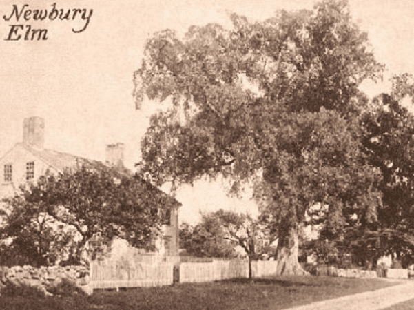 "Photo: ""Newbury Elm,"" Newbury, Massachusetts, from a c. 1910 postcard. Credit: Wikimedia Commons."