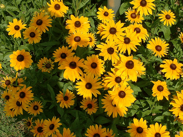 Photo: Black Eyed Susans, the state flower of Maryland. Credit: The Elvish Farmer; Wikimedia Commons.