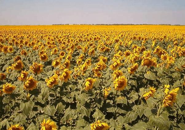 Photo: Sunflowers in Traill County, North Dakota