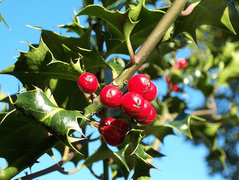 Photo: European Holly (Ilex aquifolium) leaves and fruit