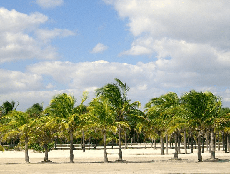 Photo: view west from the beach into Crandon Park, Miami, Florida, showing many of the coconut palm trees