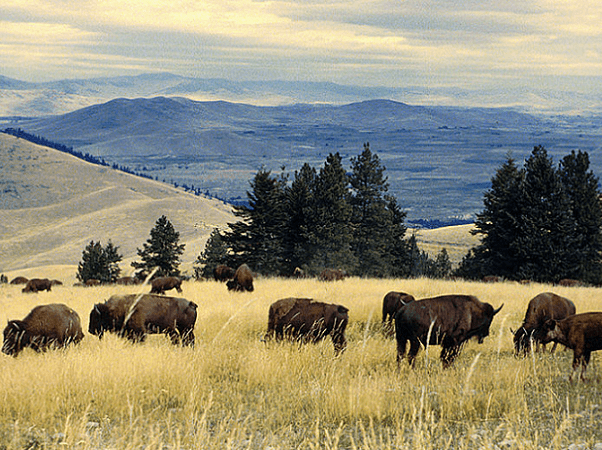 Photo: bison herd grazing at the National Bison Range, Montana. Credit: U.S. Fish and Wildlife Service; Wikimedia Commons.