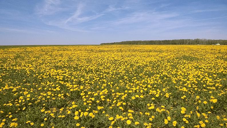 Photo: field with flowering dandelions, Tatarstan, Russia