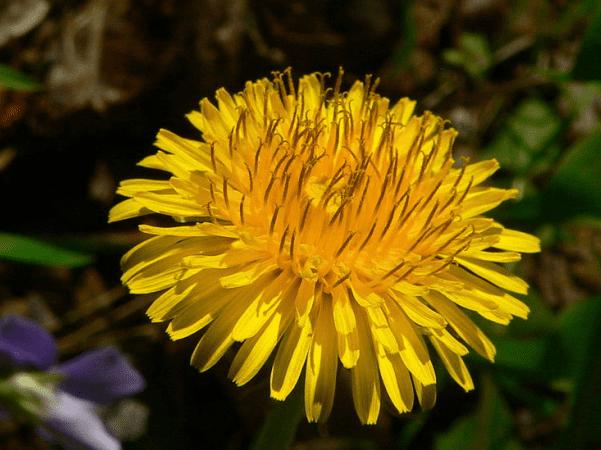 Photo: Dandelion (Taraxacum officinale). Photo by Greg Hume; Wikimedia Commons.