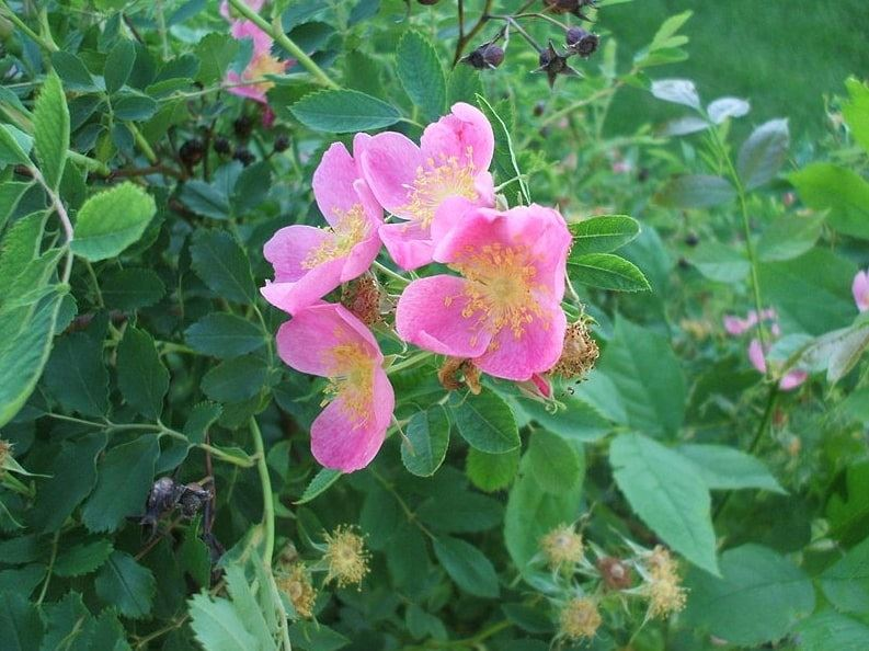 Photo: Rosa arkansana, the Wild Prairie Rose, in a flower bed outside the Department of Biology, University of North Dakota