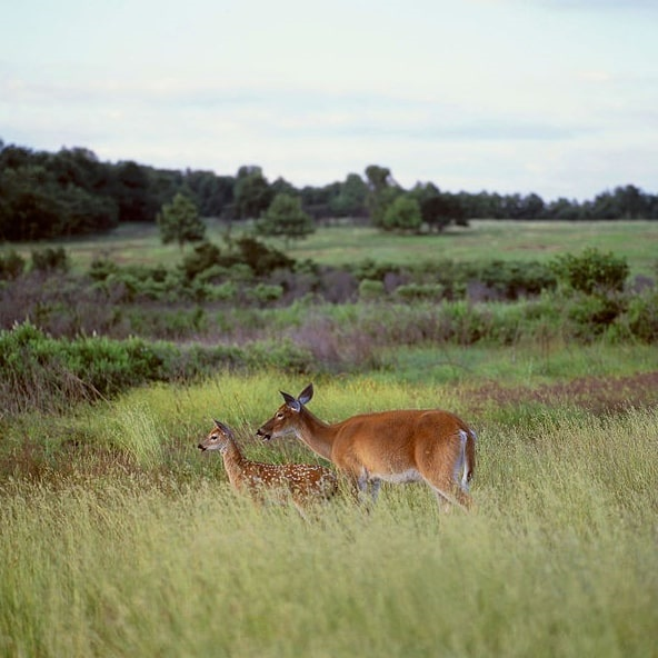 Photo: white-tailed deer, also known as Virginia deer, graze at Big Meadows in Shenandoah National Park, Virginia