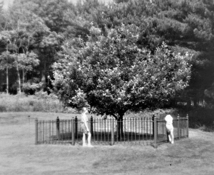 Photo: the famous Endicott pear tree, planted by Governor John Endicott c. 1640