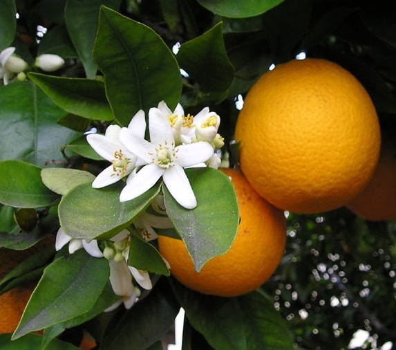 Photo: the orange blossom is Florida's state flower