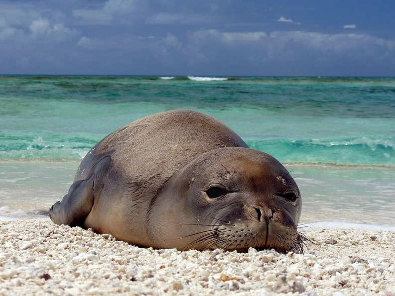 Photo: a newly weaned Hawaiian monk seal pup rests at Trig Island, French Frigate Shoals, located in the Northwestern Hawaiian Islands, protected as part of the Papahānaumokuākea Marine National Monument