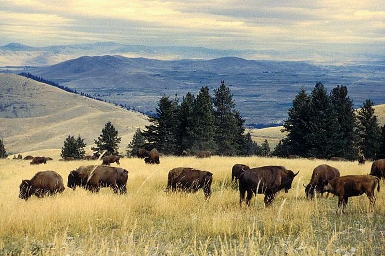 Photo: bison herd grazing at the National Bison Range, Montana